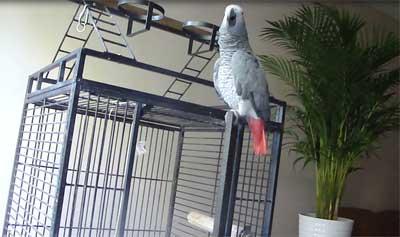 perroquet-rappeur